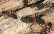 Carpenter Ants: How to Prevent, Detect or Treat an Infestation