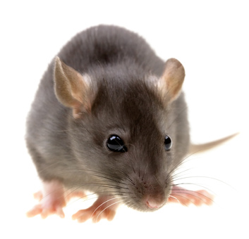 Overwintering Pests: Rodents
