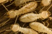 Kill termites and get rid of carpenter ants