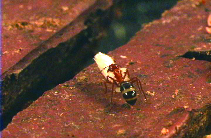Wood-Destroying Pests: Carpenter Ants
