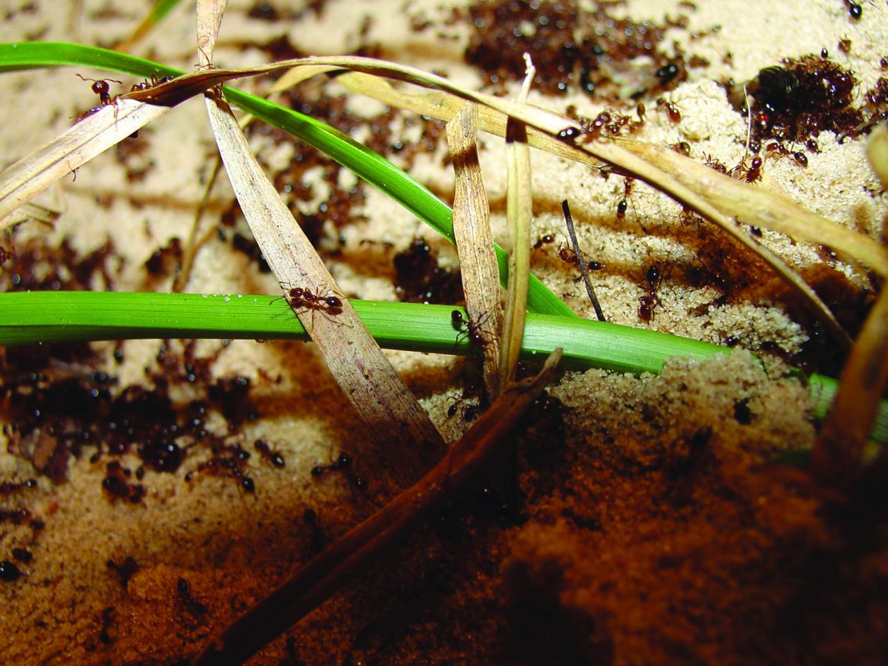 Orkin Fire Ants