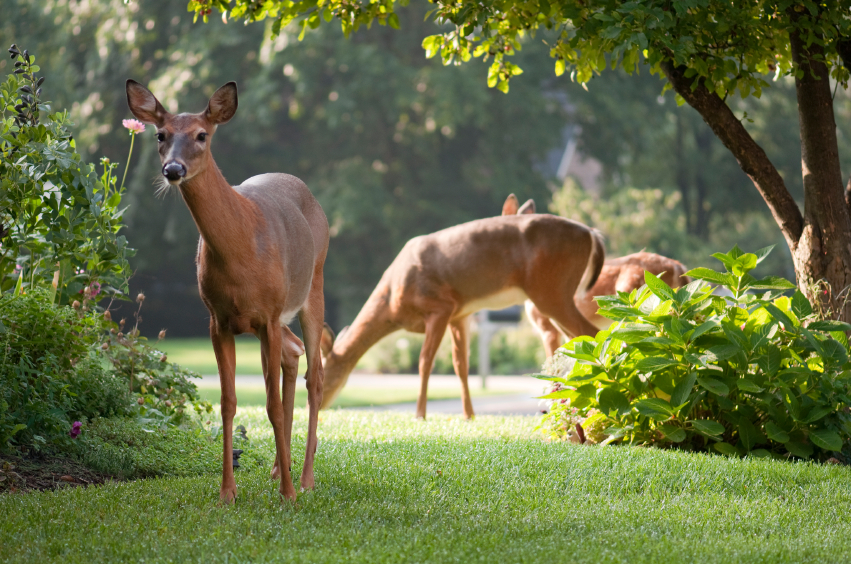 Keep Deer, Rabbits and Groundhogs Out of Your Garden