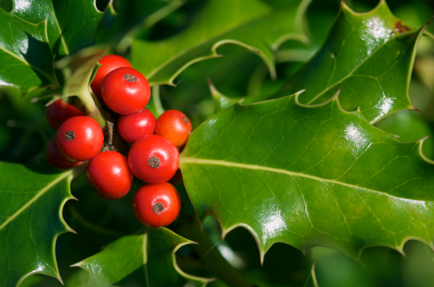 Top 5 Hazardous Holiday Plants
