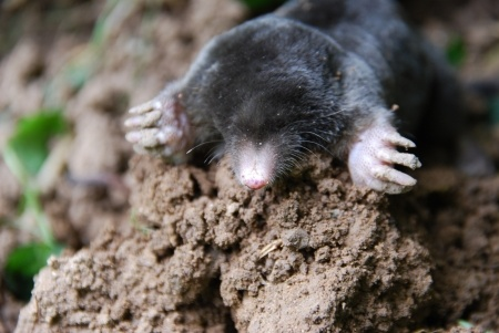 How to Get Rid of Moles and Other Lawn Pests