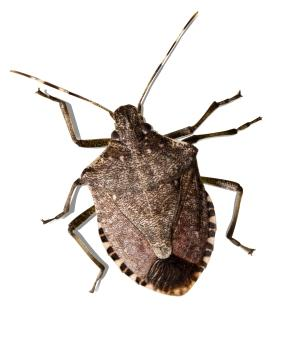 Stink Bug Orkin