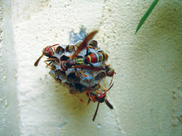 Orkin Wasps