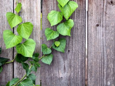 Ivy growing on a wood fence