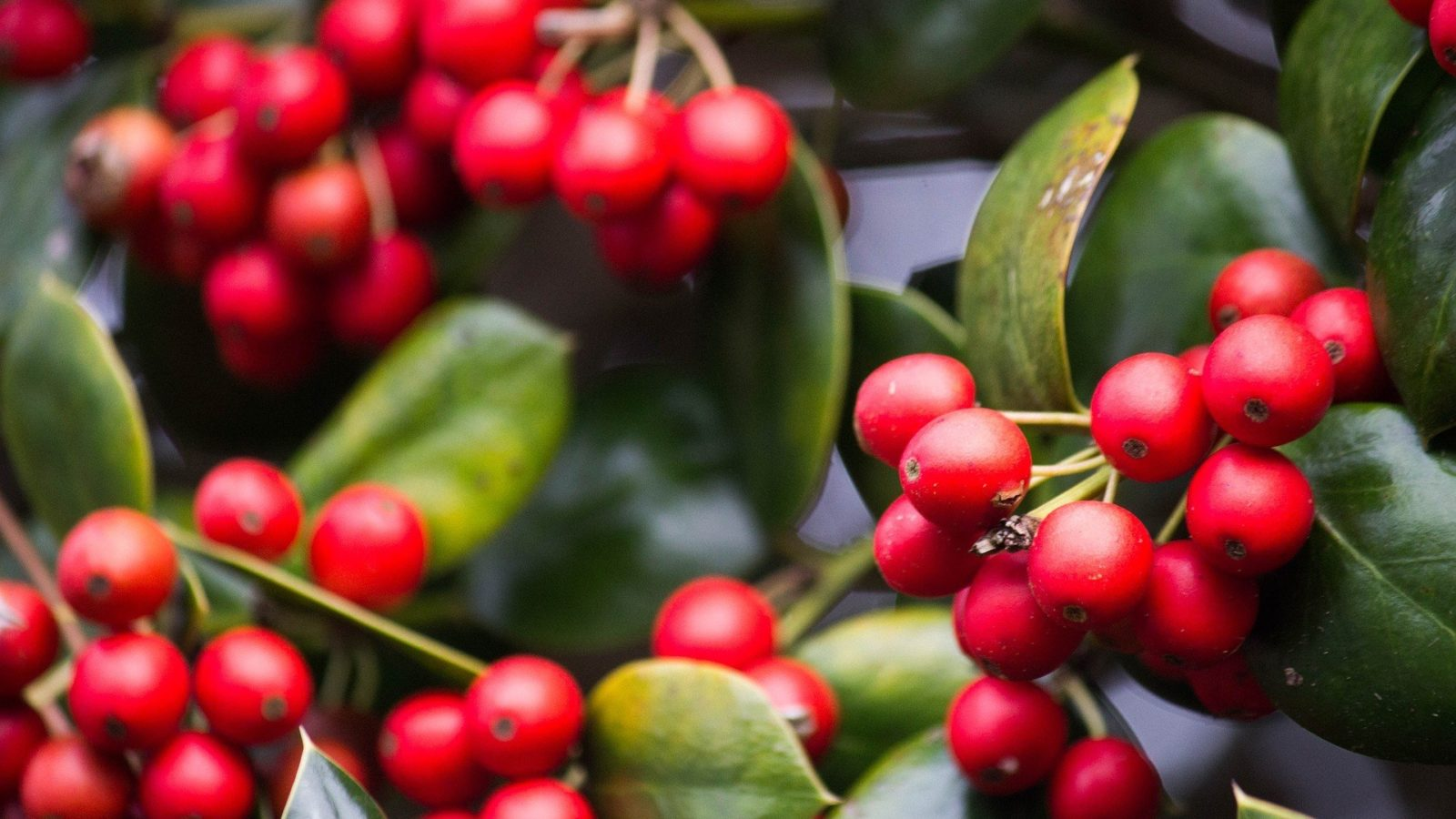 poisonous plants, holiday