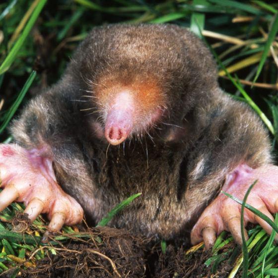 Mole in a Lawn