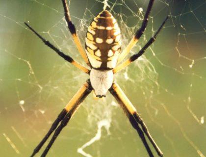 FINAL garden_spider
