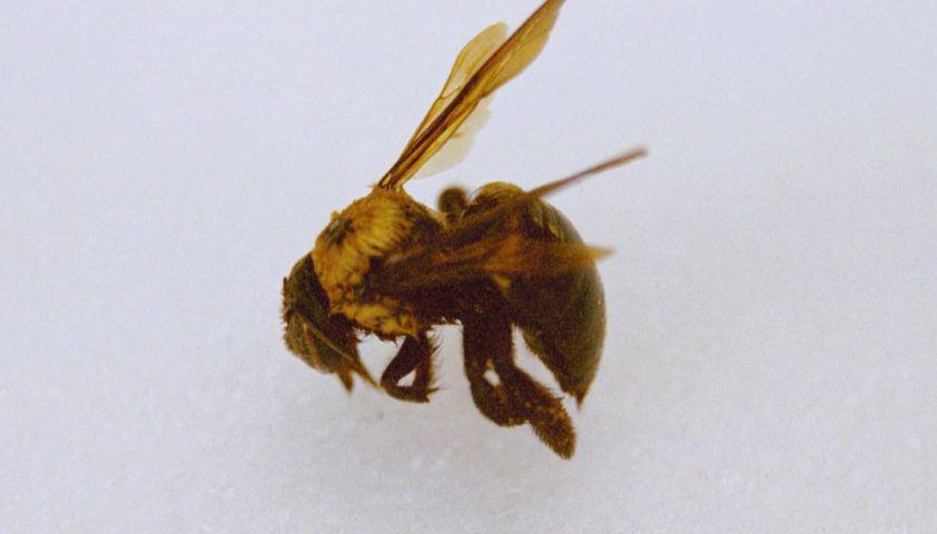 carpenter bee side(good)