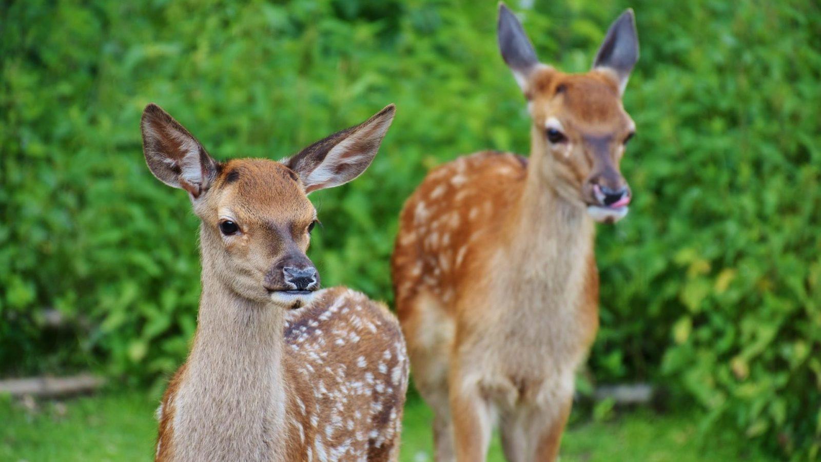 Deer in the backyard