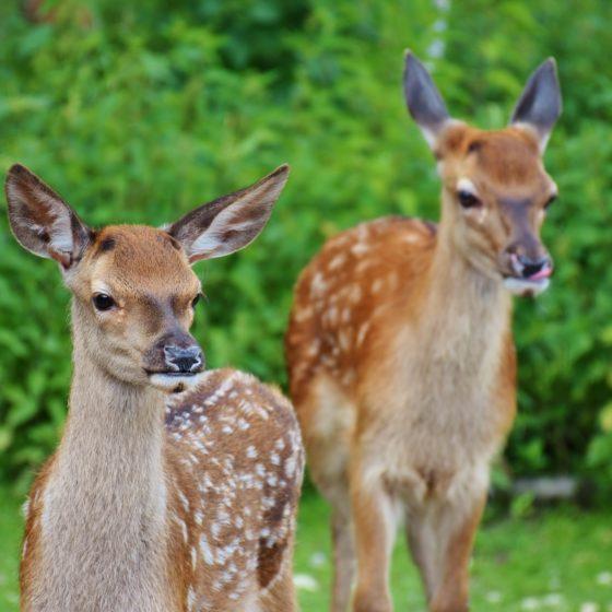 deer-1482712_1920