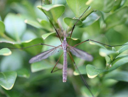 mosquito-455972_1920