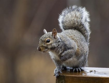 pests_wildlife_critters_animals_animal_control_squirrel_vermin_shutterstock_2980004