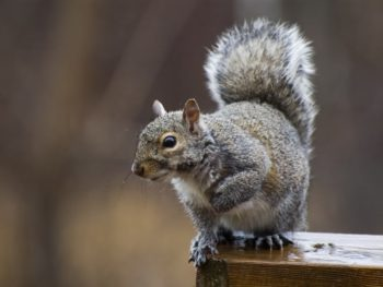 trap squirrel in home