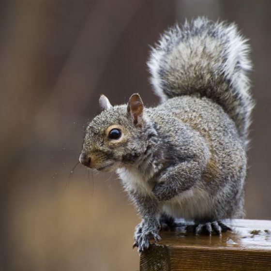 pests_wildlife_critters_animals_animal_control_squirrel_vermin_shutterstock_2980004