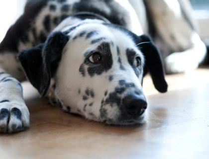 pet_dog_floor_flooring_shutterstock_55164127