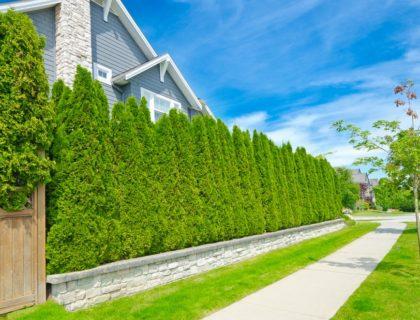 privacy_hedge_bushes_shrubs_trees_neighbors_landscaping_yard_shutterstock_163788446
