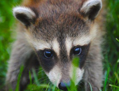 racoon-animal-690159
