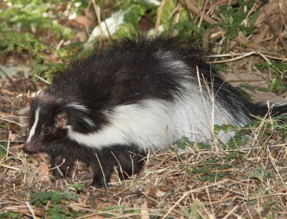 skunk-1591311_1280