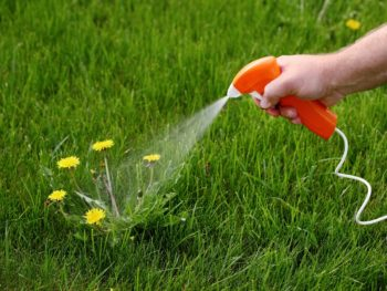 Spraying weeds in lawn