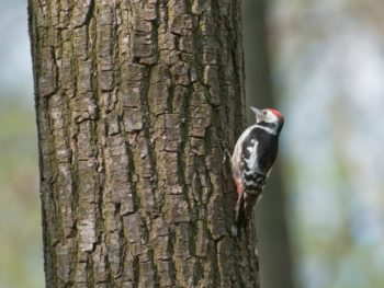 woodpeckers pecking away at log home