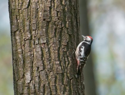 woodpecker_wildlife_pest_shutterstock_174930191