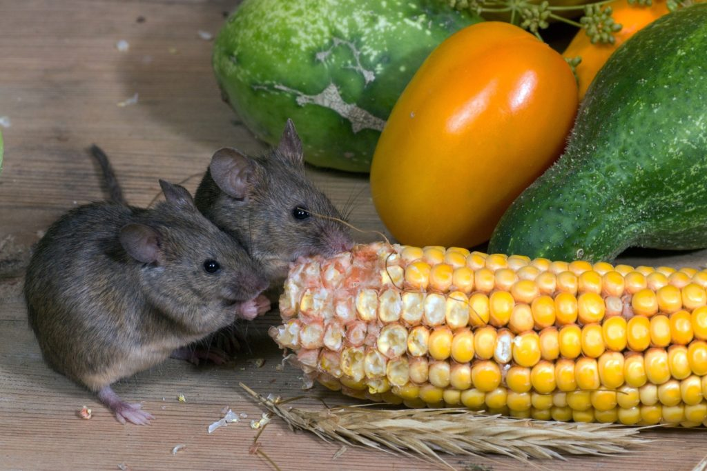 Mice eating vegetables