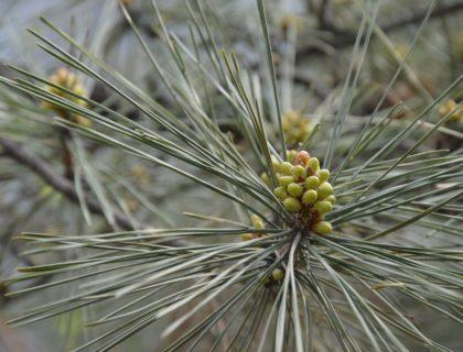pine tree, pine needles