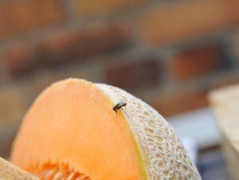 Fruit fly on a cantaloupe melon