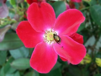fend off Japanese beetles