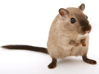 mice in insulation