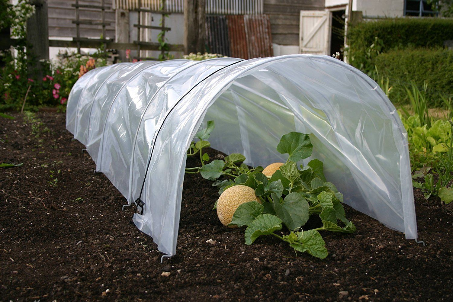 Small polytunnel greenhouse with melons growing inside.
