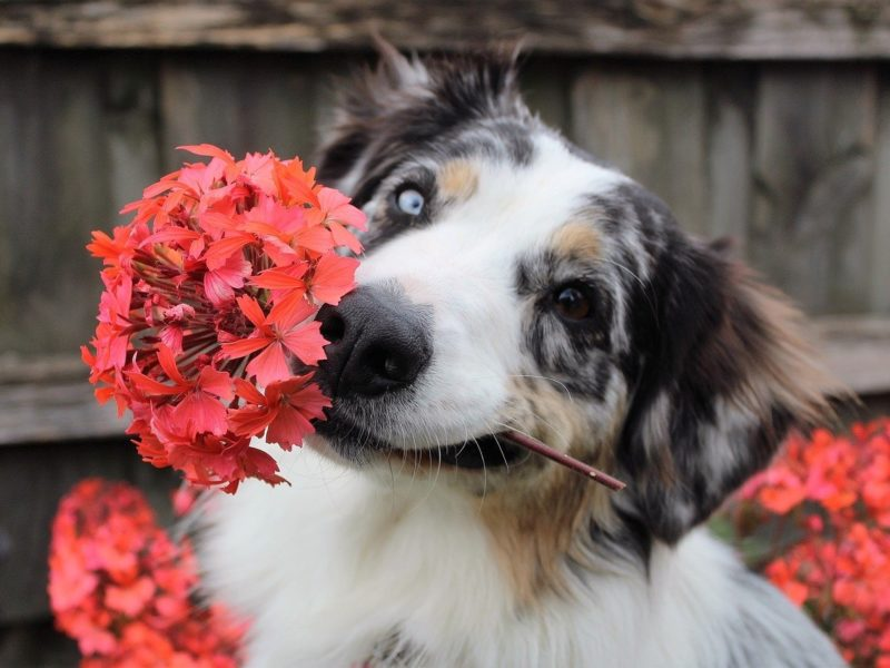 Dog holding flower in his mouth