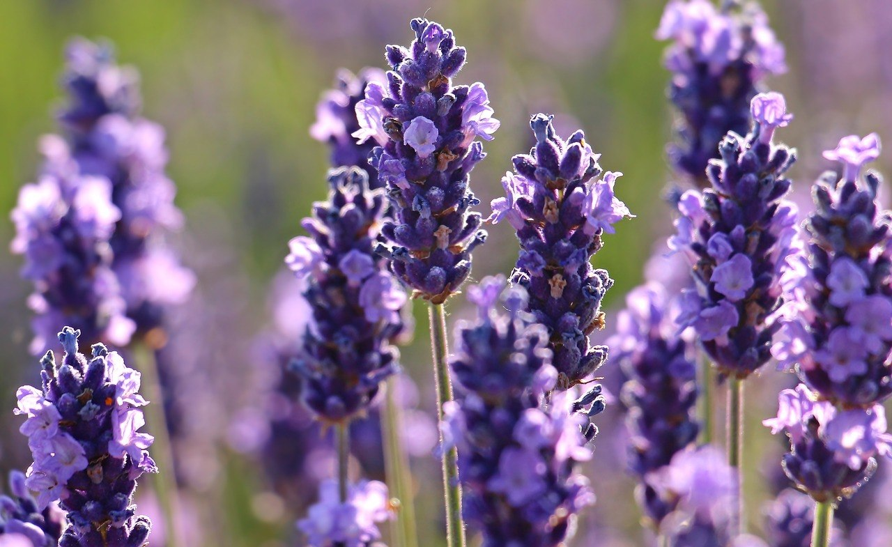 lavender, herbal medicines
