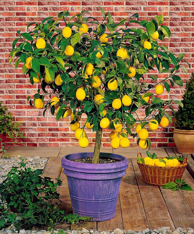 how to grow a lemonade garden the money pit. Black Bedroom Furniture Sets. Home Design Ideas