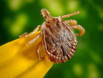 homemade tick repellents