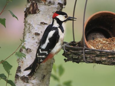 Spotted Woodpecker on Tree