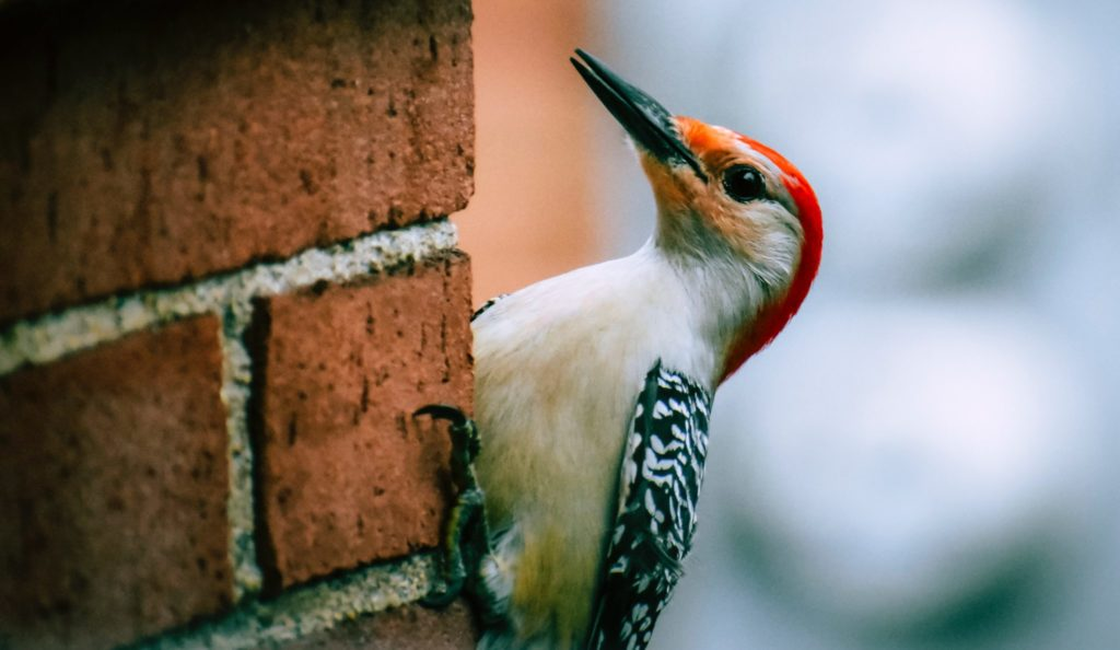 Woodpecker attempting to peck a brick wall