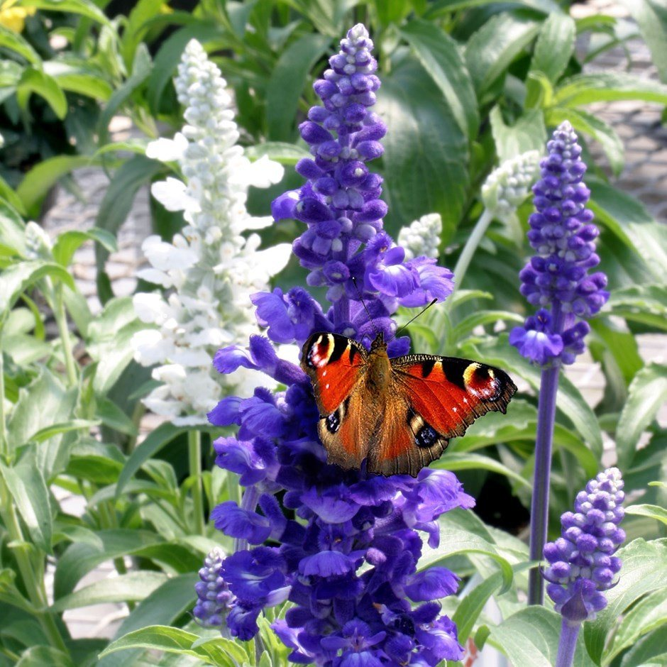 Salvia attracting butterfly