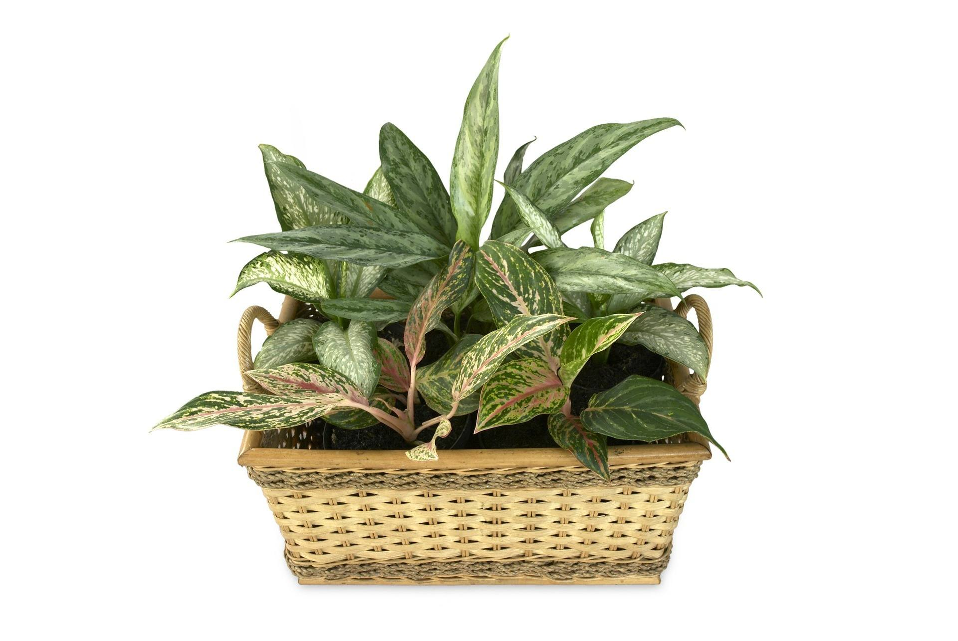 Dieffenbachia in a wicker basket