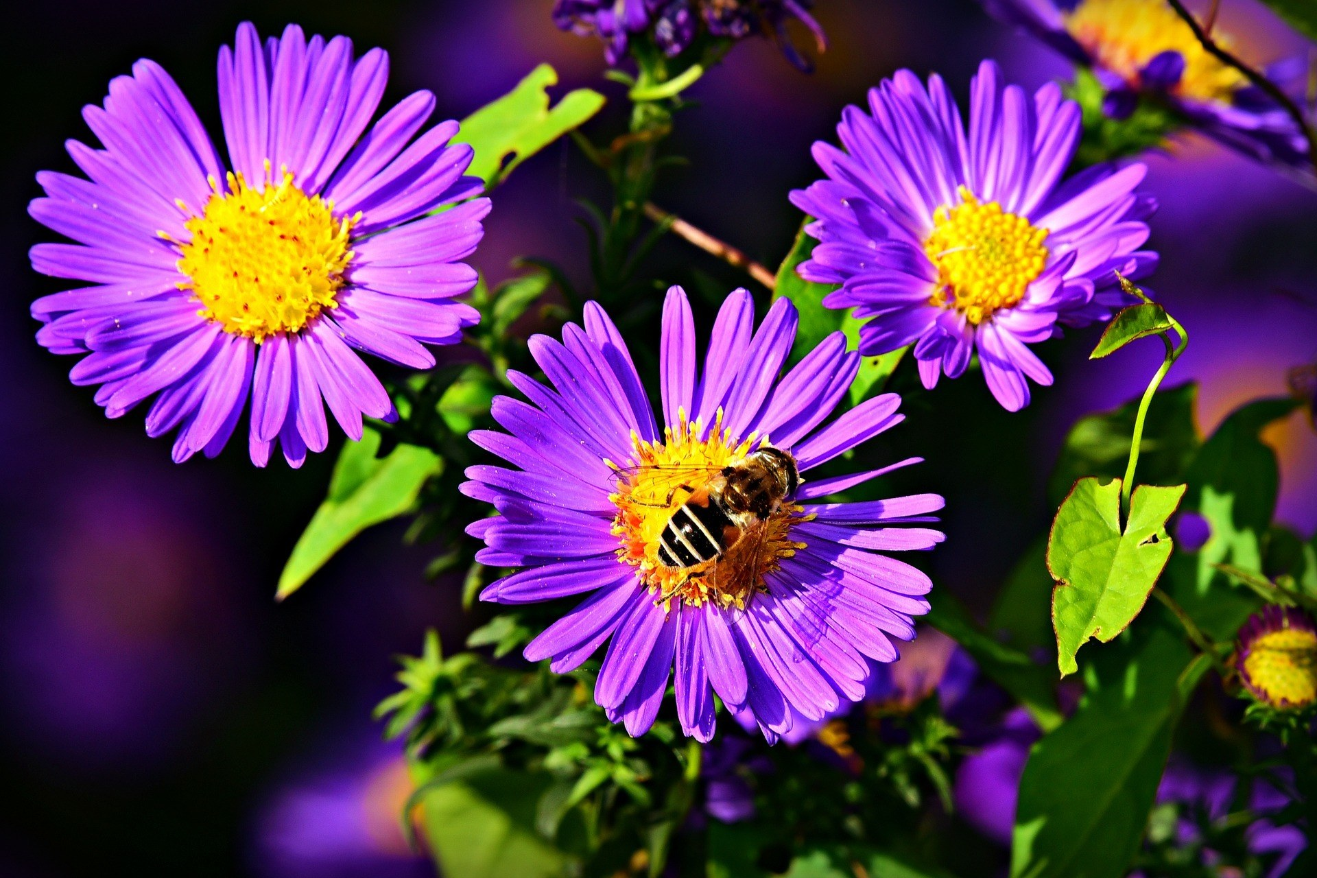 Close view pf the aster flower with bee
