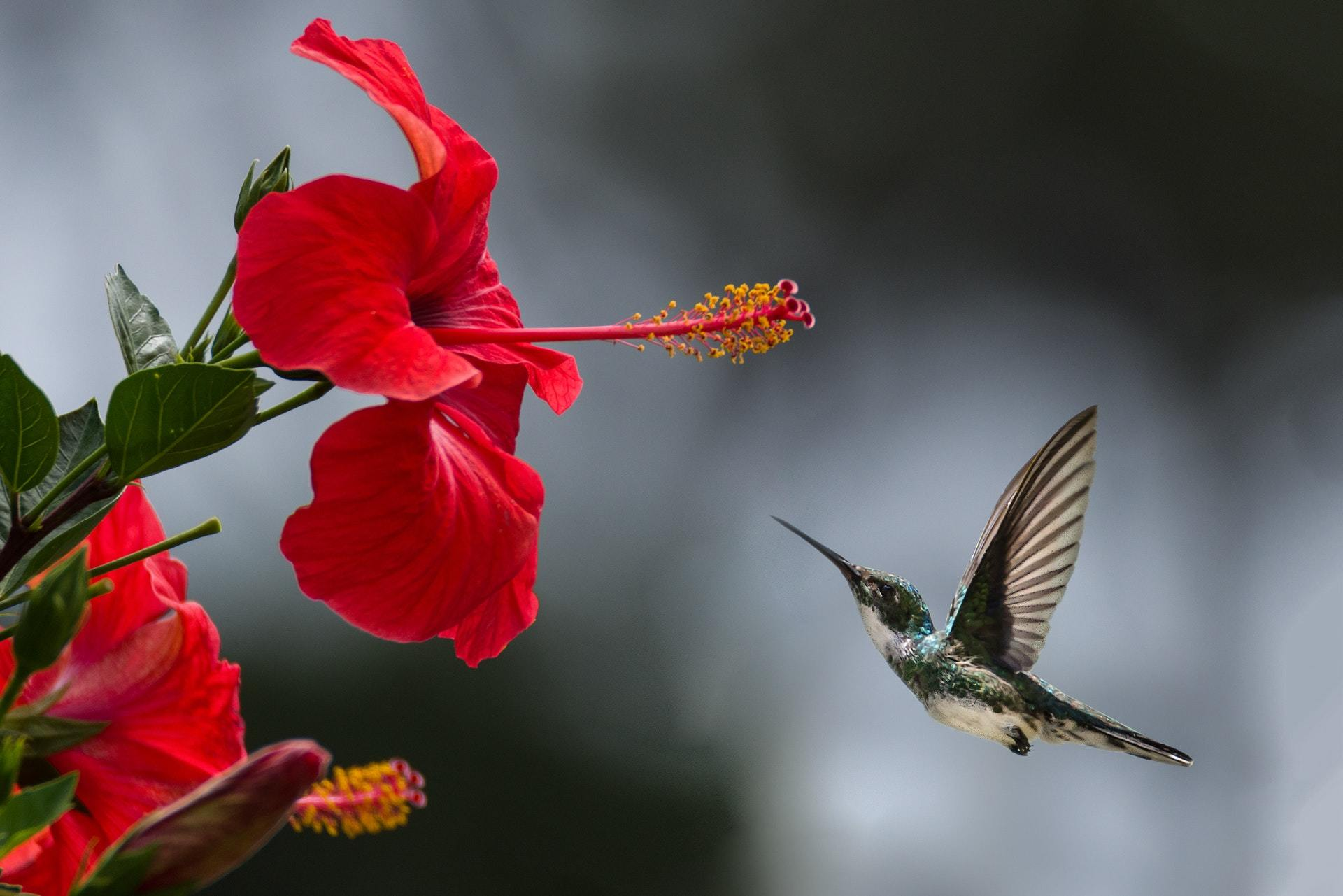 Hummingbird in flight toward red flower