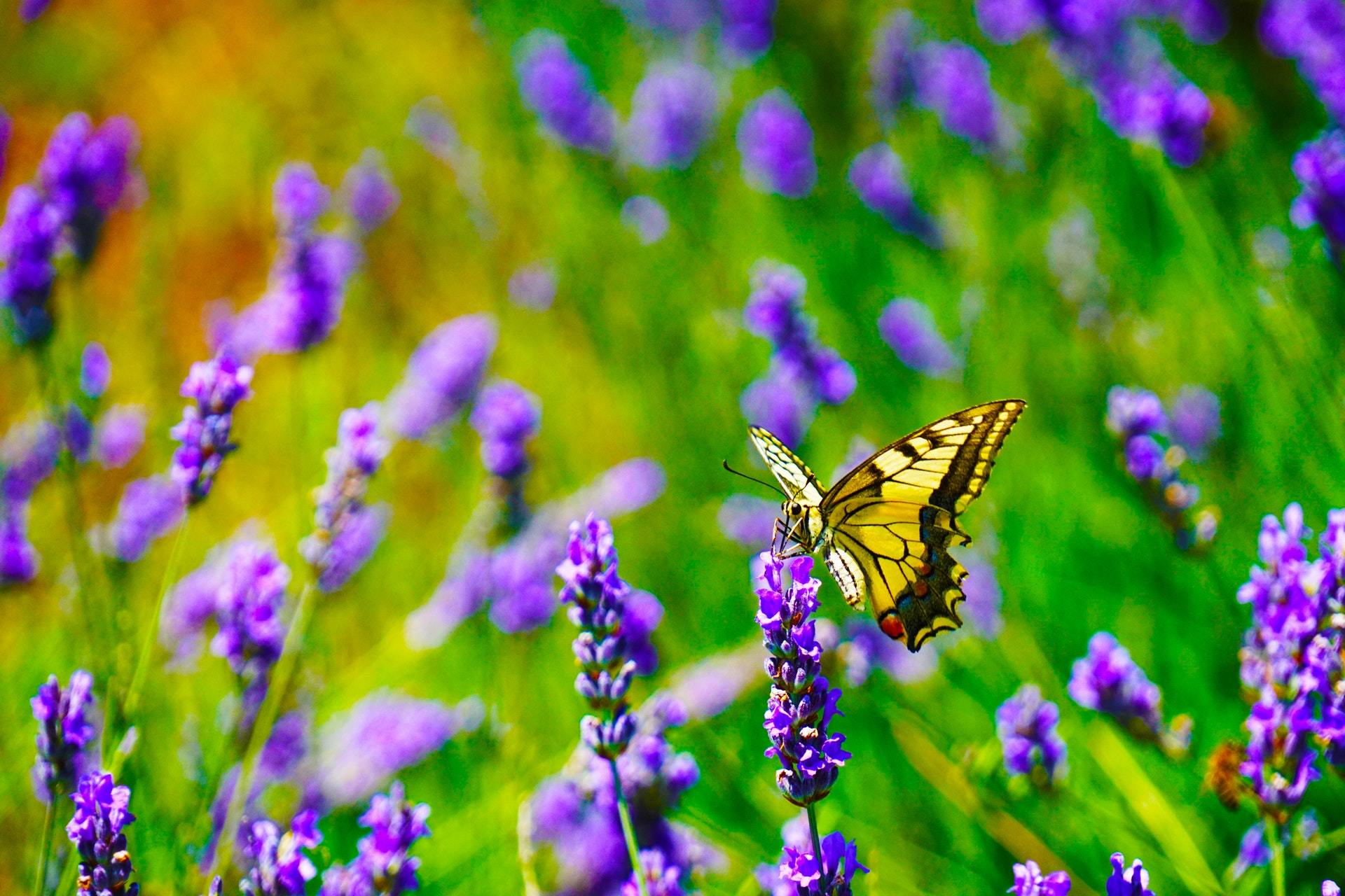 Butterfly landing on a butterfly bush also called summer lilac.