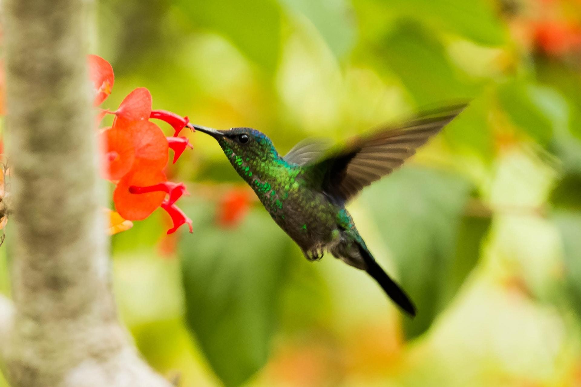 Hummingbird in flight with red flower.