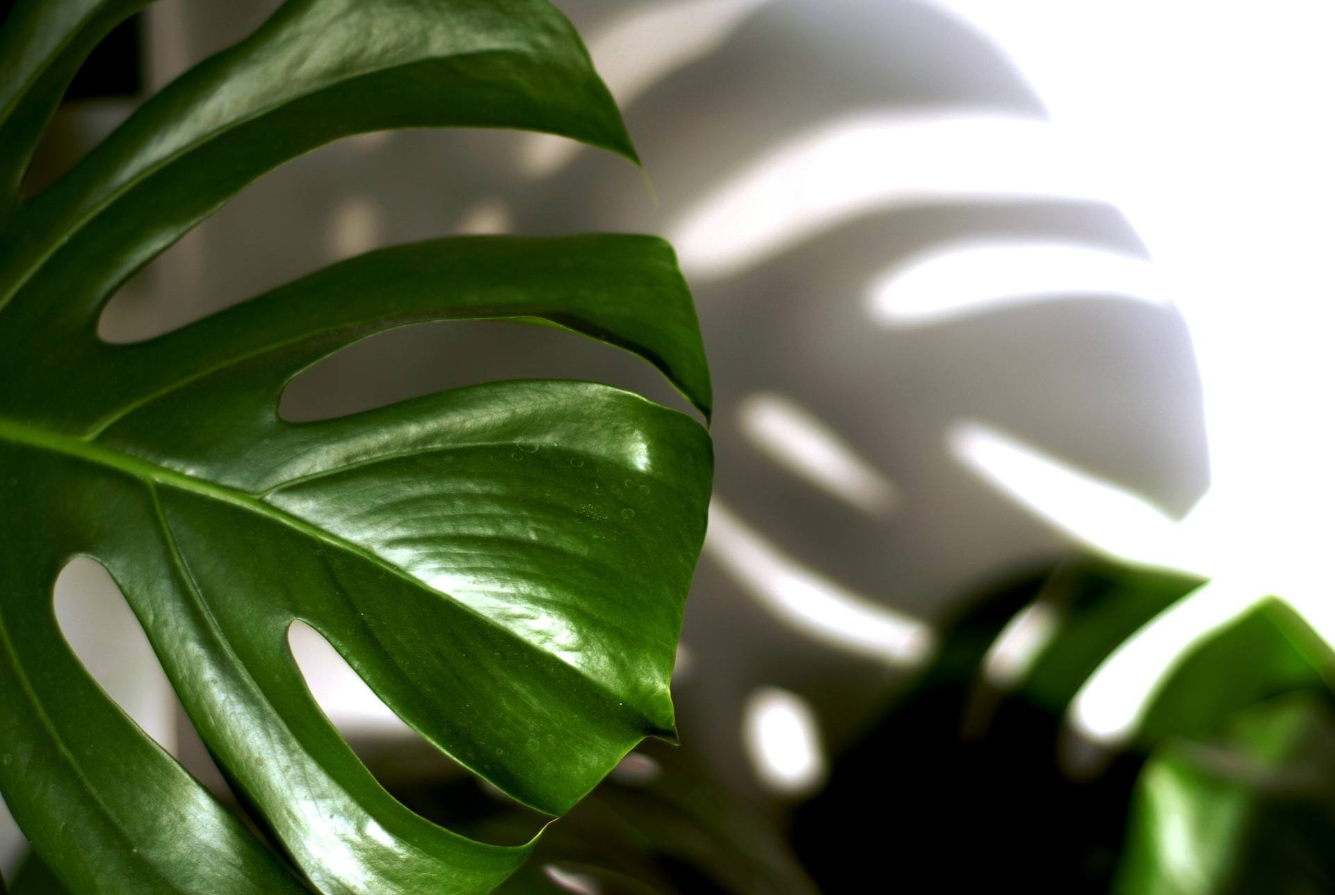 Close up photo of Philodendron plant.