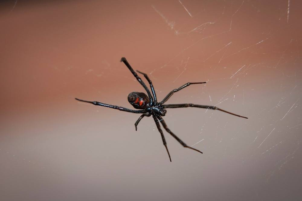 Black widow house spider on web