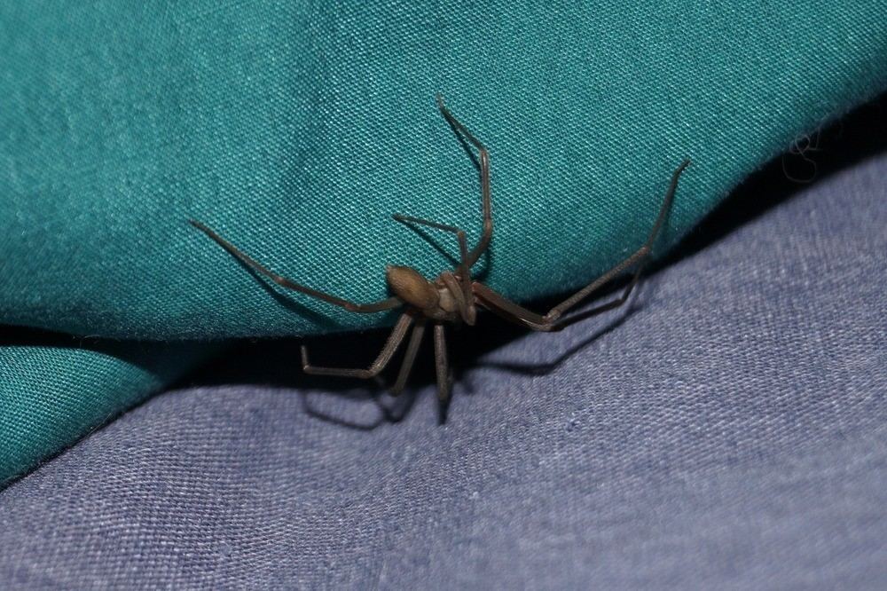 Brown recluse house spider on a blanket