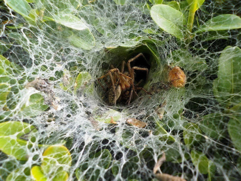 Hobo house spider and web on a bush